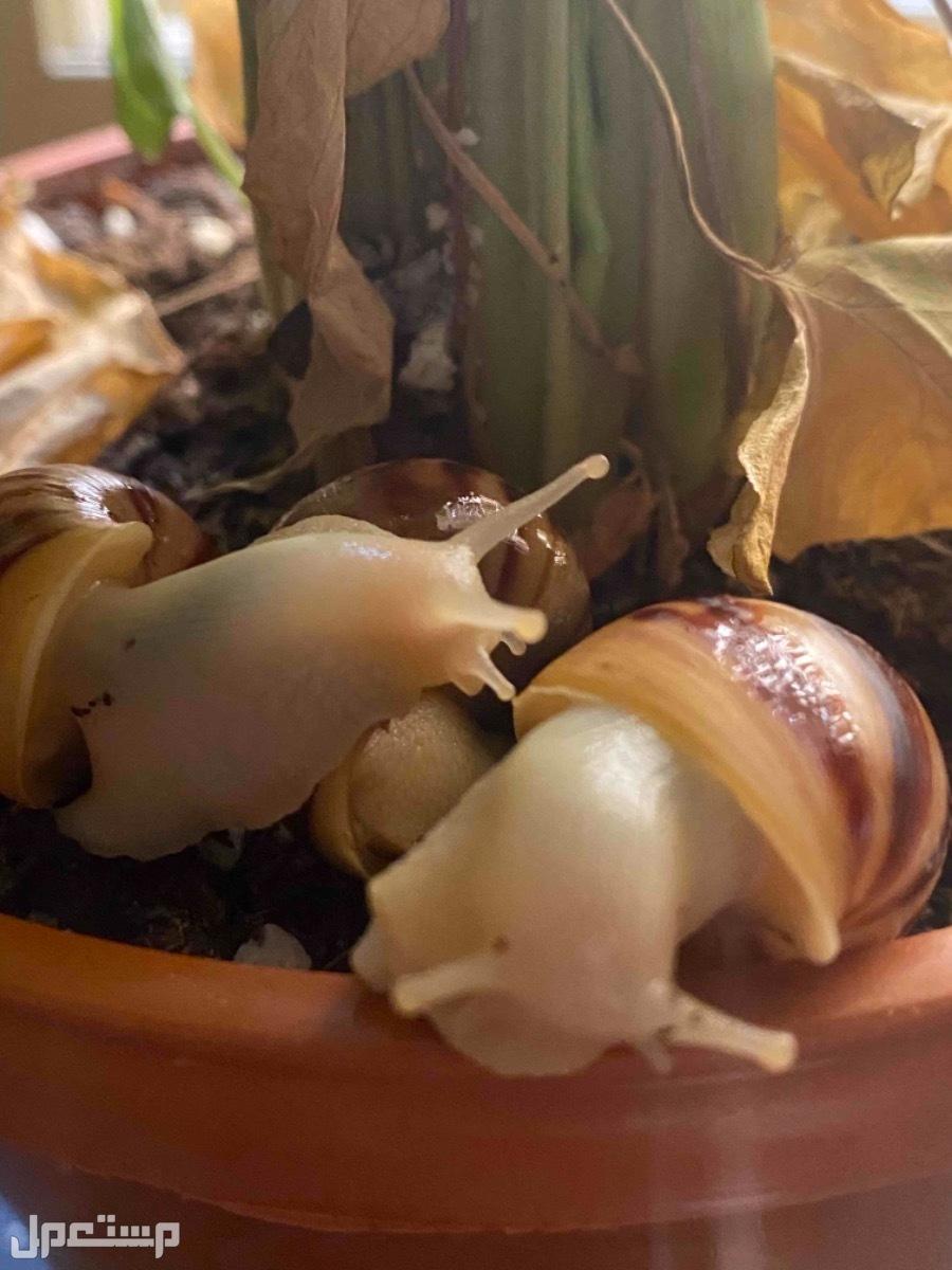 حلزون افريقي عملاق