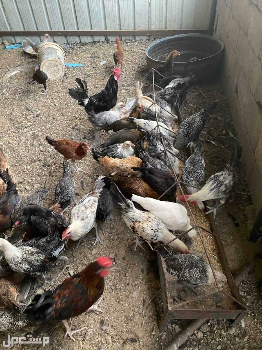 دجاج بلدي العمر من 5الى 6اشهر
