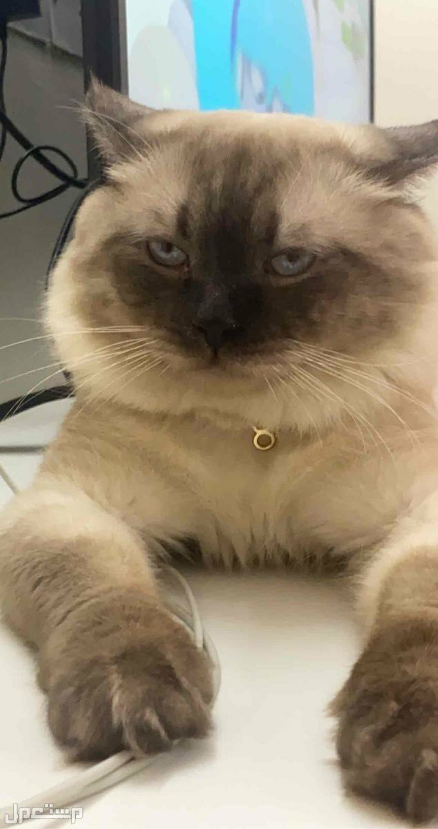 قط همالايا منتج ..