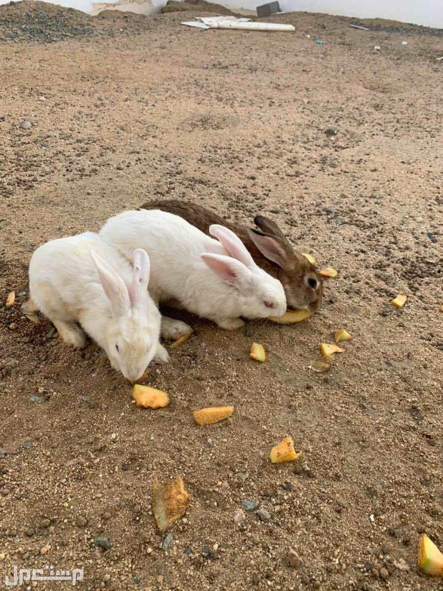 دجاج فيومي بياض وارانب بلدي