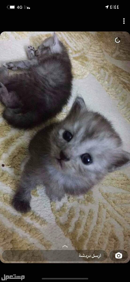 قطط للبيع صغيره