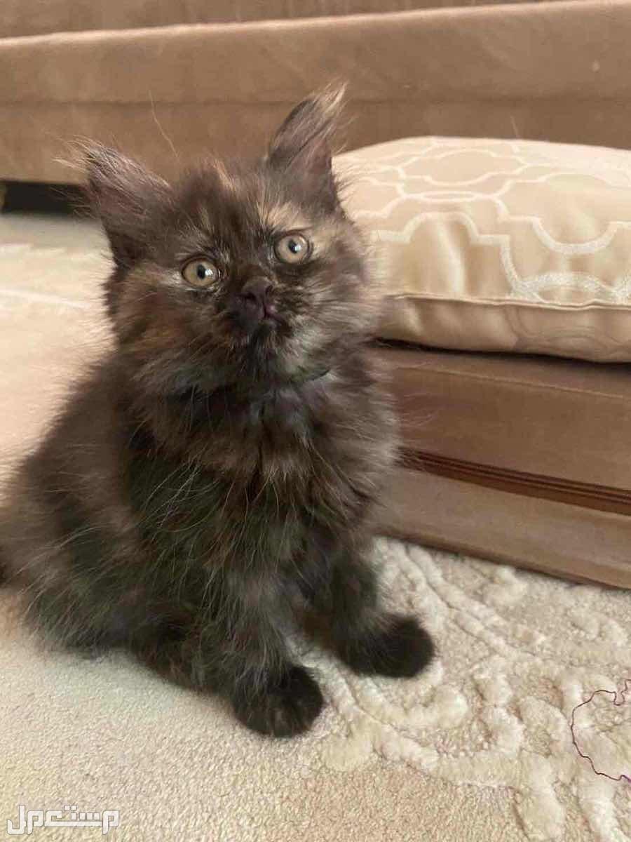 قطط شيرازي العمر شهرين على السوم