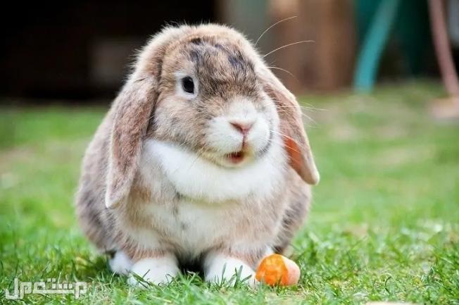 اليك كل ما تود معرفته عن سلالة أرنب هولندا لوب قبل اقتنائه و تربيته