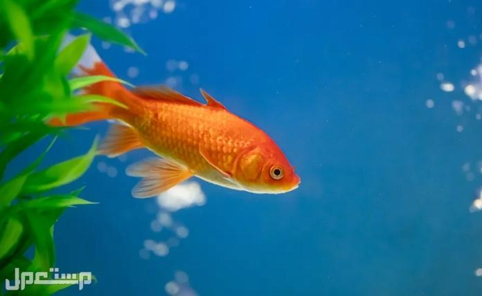 السمكة الذهبية الشائعة: دليل العناية والأصناف والتغذية وعمر الحياة والمزيد