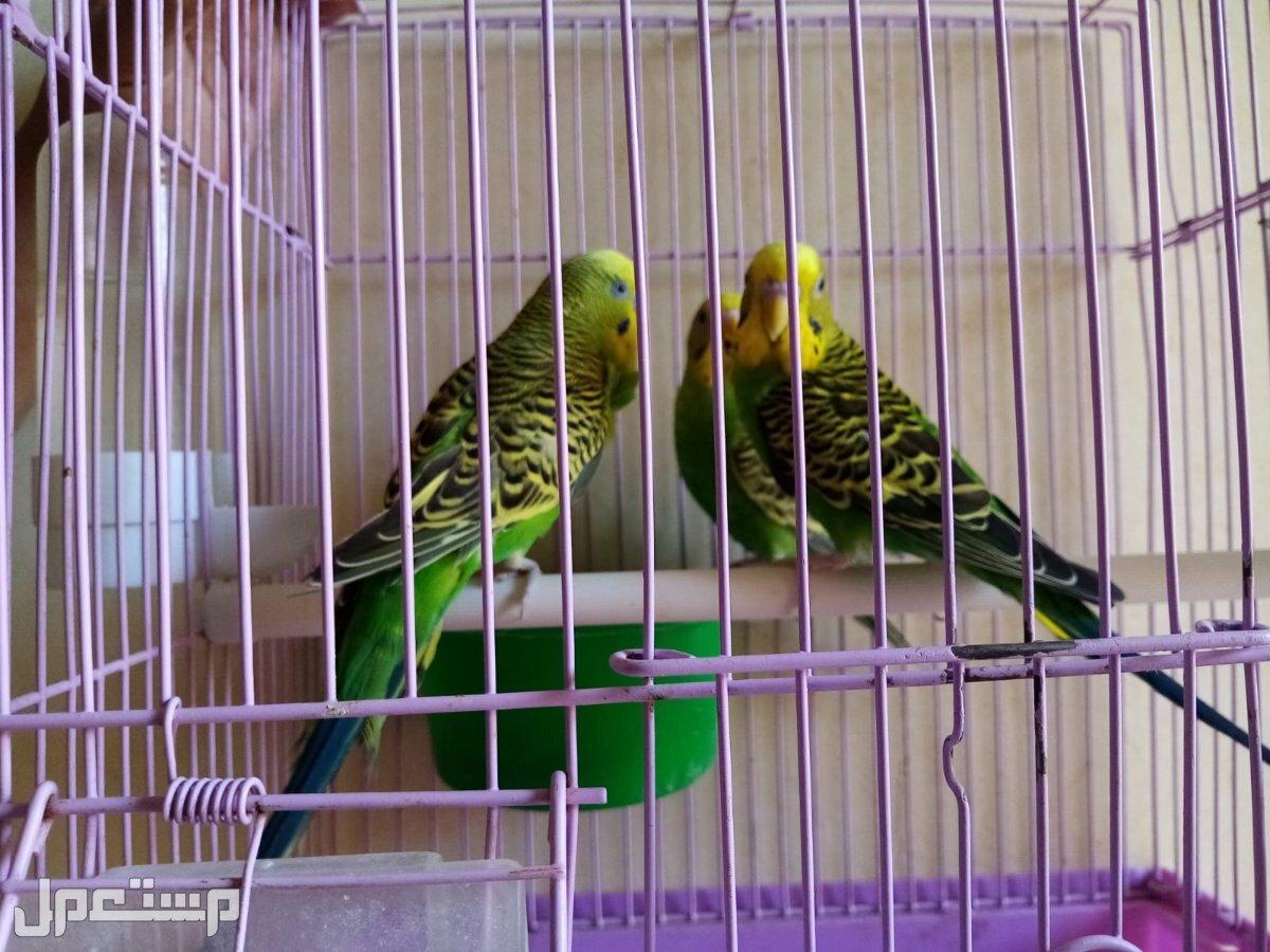 للبيع طيور الحب بادجي