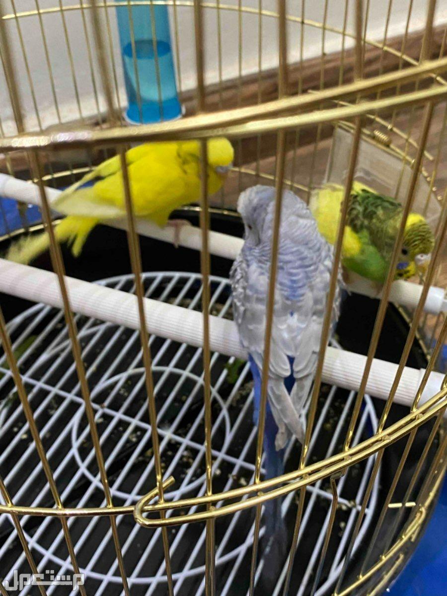للبيع طيور حب