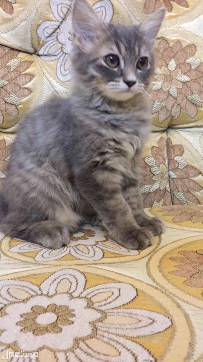 قط  الام هملايا والاب شيرازي