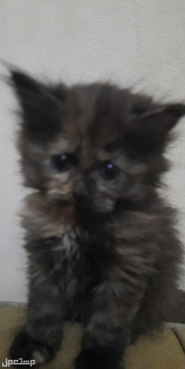 قطط للبيع سكوتش فولد