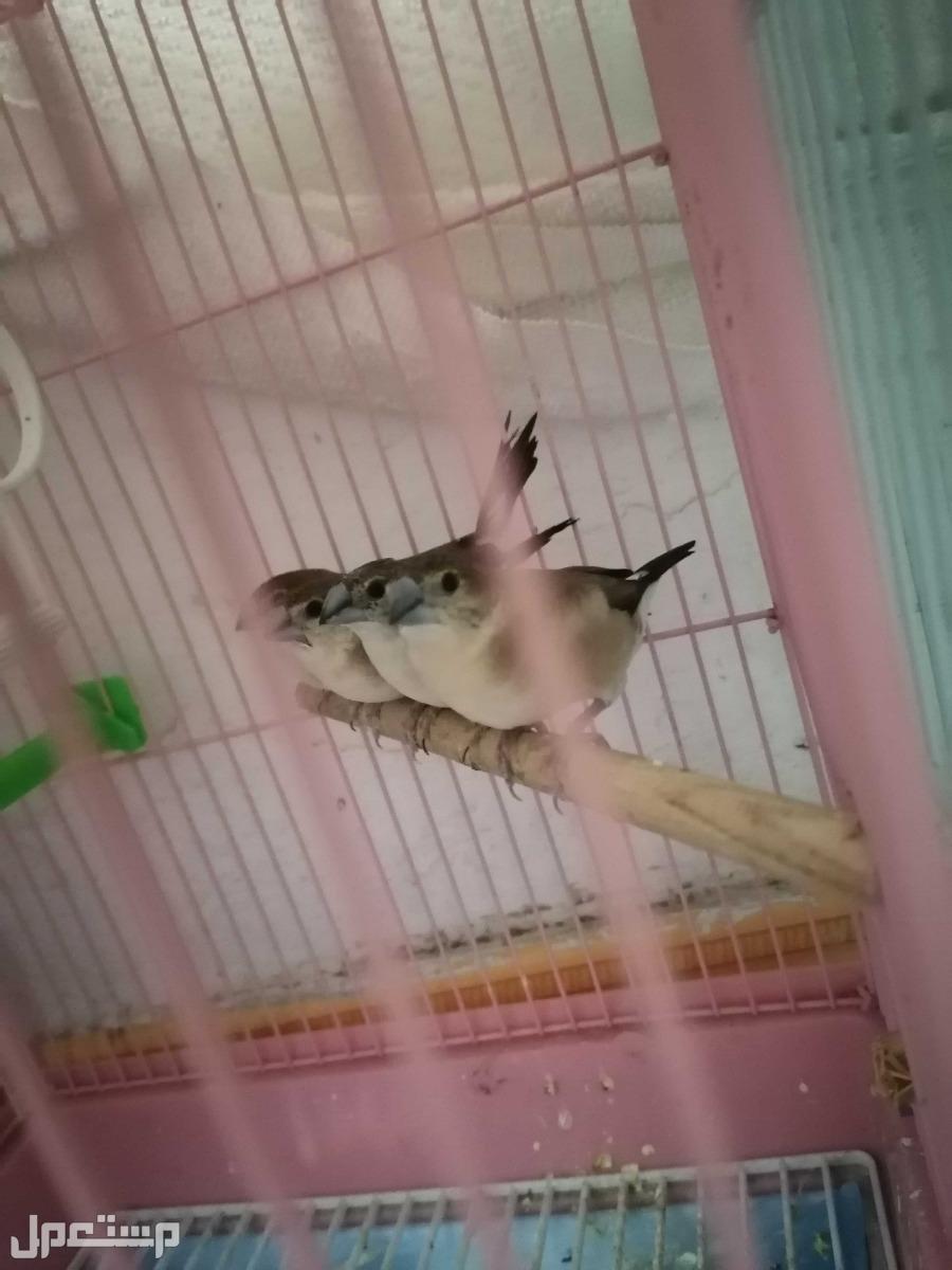 طير للبيع